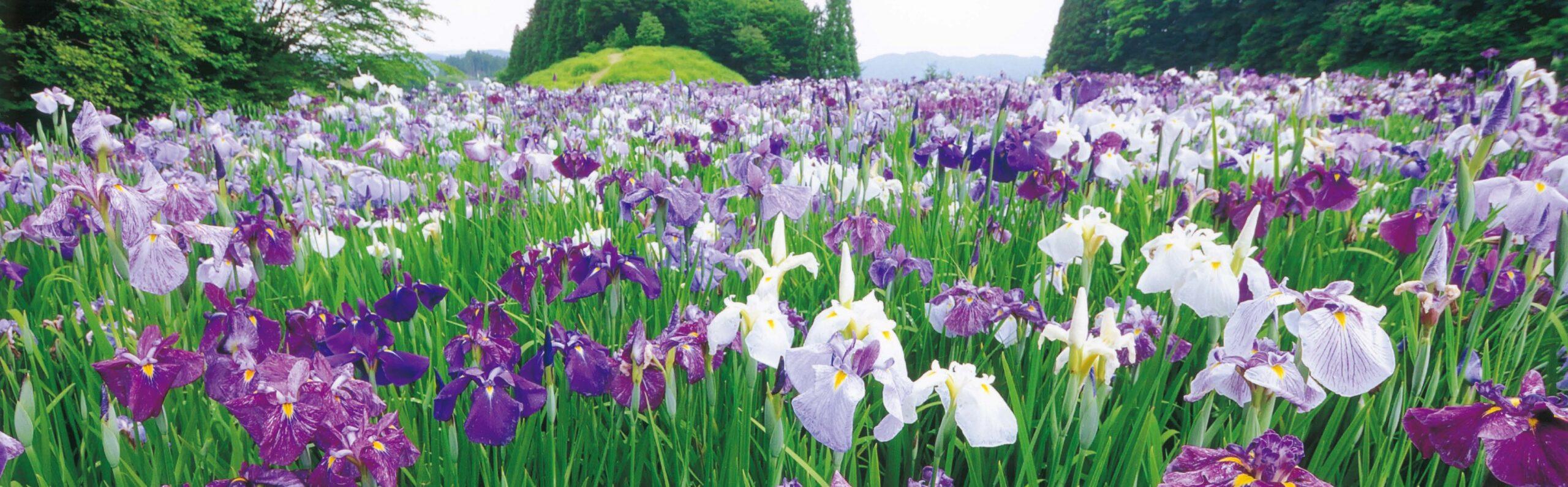 恵那市岩村町 花菖蒲の競い咲き